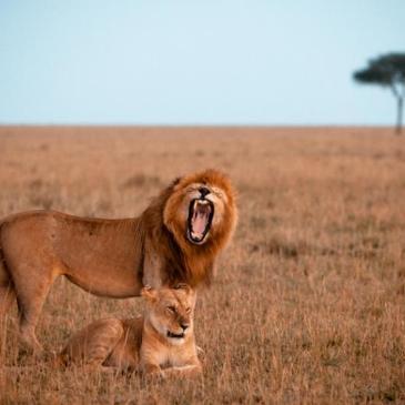 Acampando entre leones