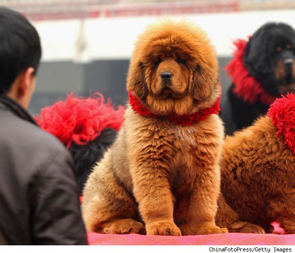 Red Tibetan Mastiff World's Most Expensive Dog