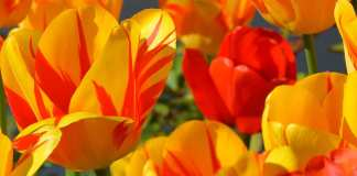Bolsas para estudar na Holanda - Orange Tulip Scholarship | Foto: Pixabay, CCO license