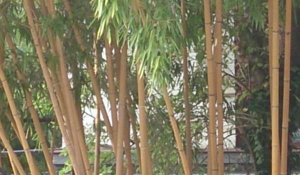 bambus de bucuresti
