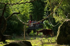 Okapi Bioparc - L. Joffrion