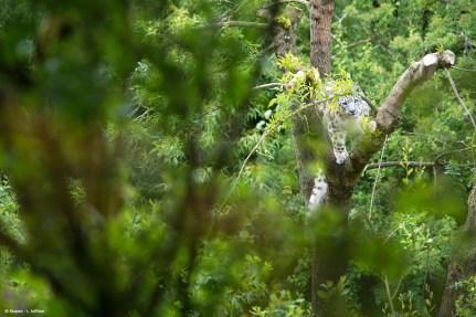 Panthere des neiges Bioparc - L. Joffrion