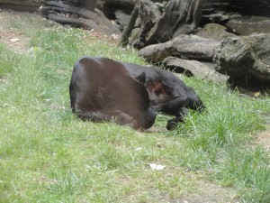 la panthère noire fait dodo