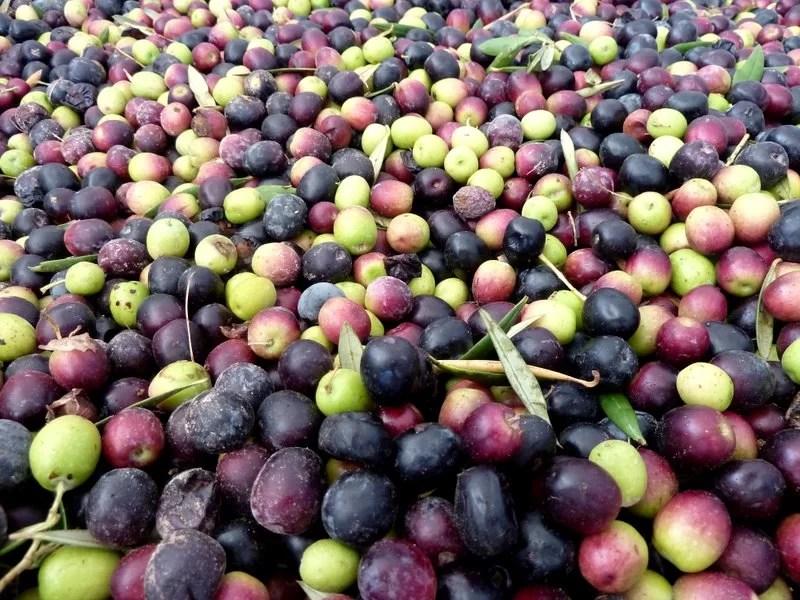 El peor año de la oliva