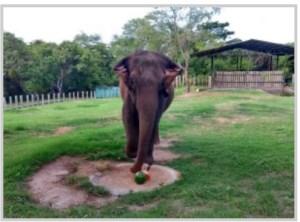Começam os preparativos para viagem de Lady para o Santuário de Elefantes no Mato Grosso