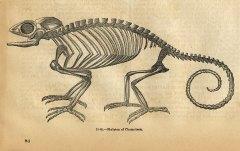 chameleonskeleton-graphicsfairy006b2