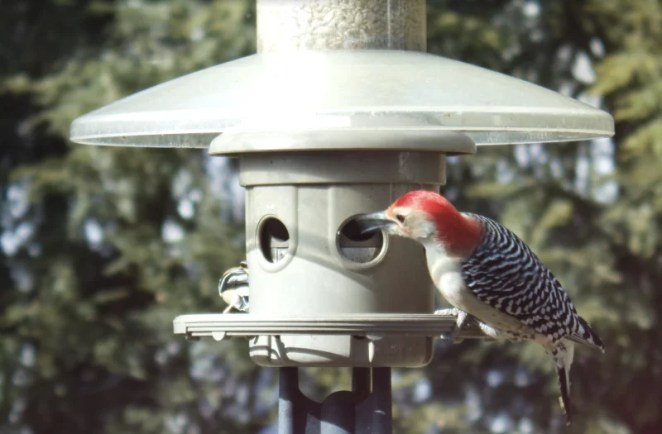 A red-bellied woodpecker pays a visit to Mike's bird feeder. Standard AWS Rekognition identified it as a 'woodpecker'