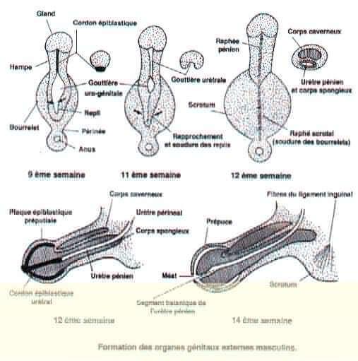 Formation des organes génitaux externes masculins