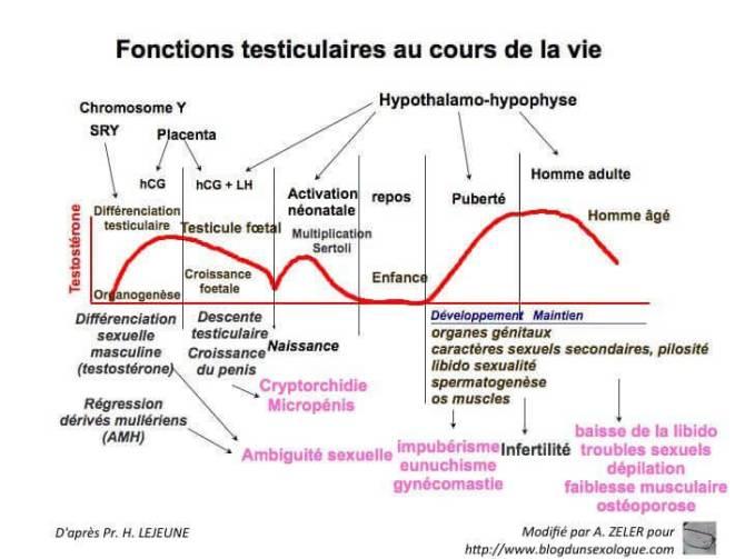 Variation du taux de testostérone au cours de la vie et effets physiologiques