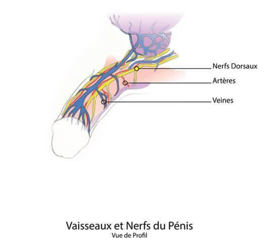 anatomie-penis-2