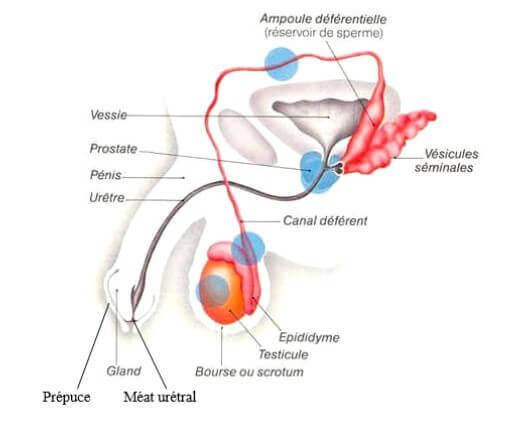 appareil-genital-masculin