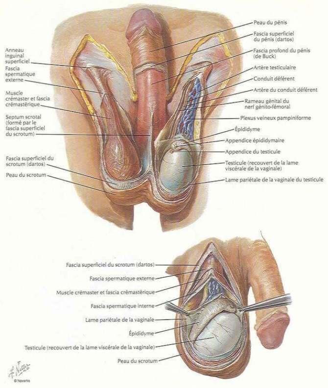 scrotum et son contenu