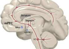 Neurobiologie des comportements sexuels