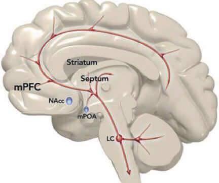 systeme noradrenergique cerebral