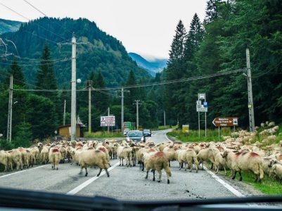 Transfăgărășan_estrada ovelhas