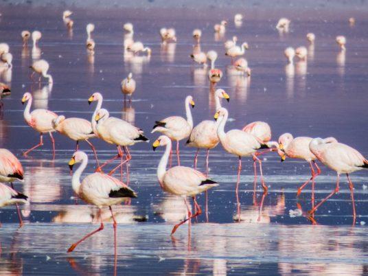 Salar de Uyuni_flamingos na lagoa