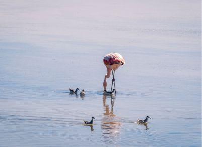 deserto do Atacama_flamingo no Salar