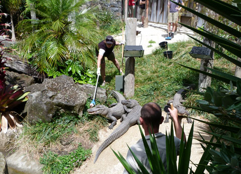 Auckland Zoo alligator feeding