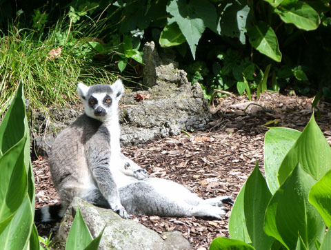 Ring tailed lemur Auckland zoo