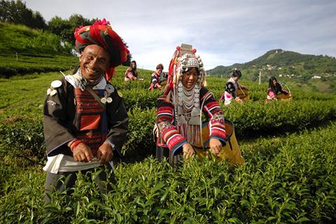 Tea harvesting in Chiang Rai