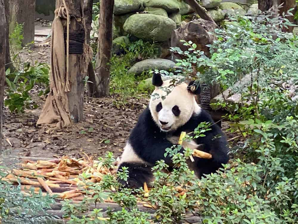Panda eating bamboo in China