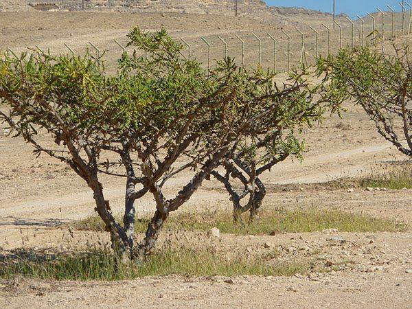 Frankincense Oman