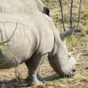Rhino, Sun City