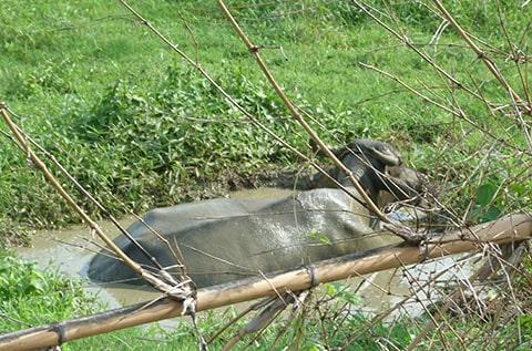 GK water buffalo