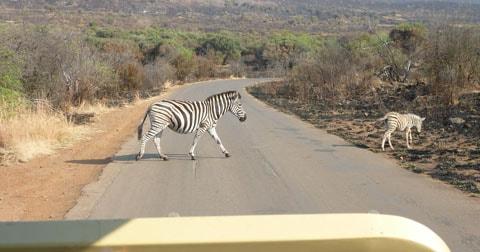 Zebra, Pilanesberg