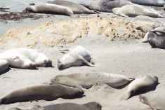 Californian Elephant Seals