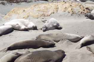 Elephant Seals on Highway One