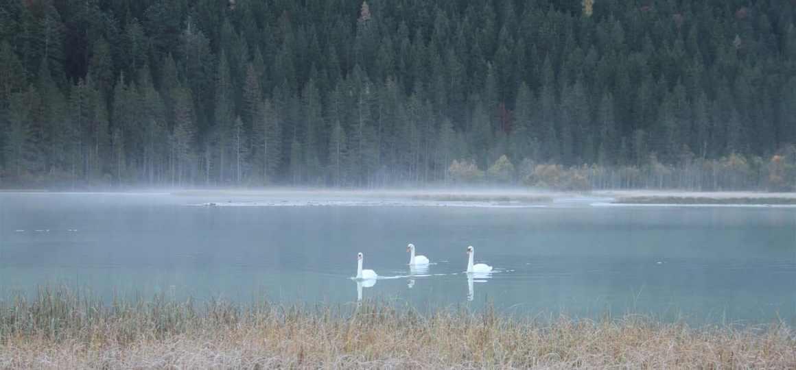 Schwäne am Jägersee in Kleinarl