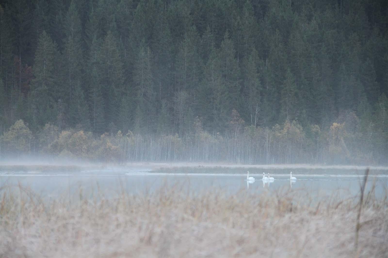 Im Nebel erkennt man von weiten die Schwäne