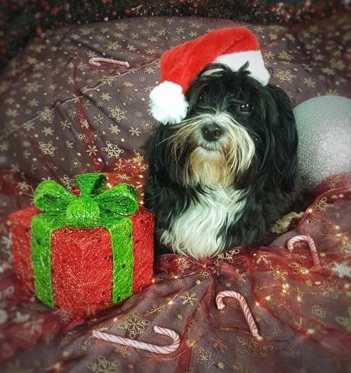Buffy mit Weihnachtsmütze und Geschenk