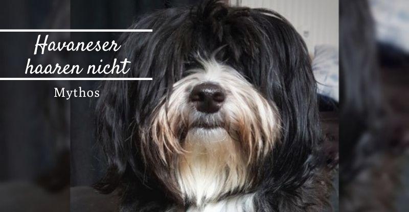 Read more about the article Mythos: Havaneser haaren nicht