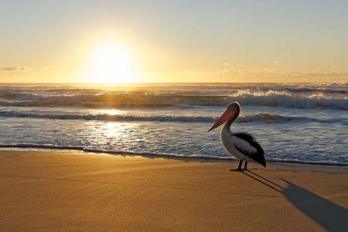 Sunset over a beach, Austrlian pelican is standing watching