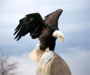 Eagle Landing Eye Blogsaays