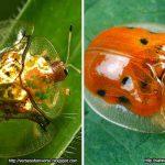 Deretan Binatang Yang Mampu Berubah Warna Selain Bunglon - Kumbang Kura-kura Emas