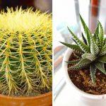 Jenis kaktus hias mini yang bagus untuk hiasan dalam ruangan