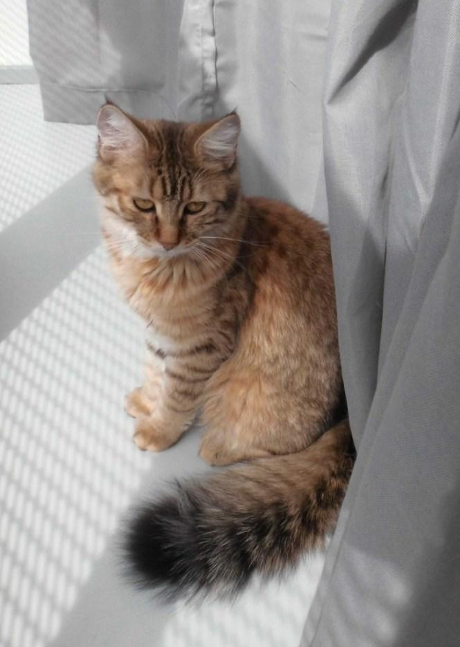 Mittens-pixie-bob-kitten-negen-maanden-cute-2