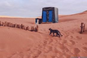 merzouga morocco cat desert sand