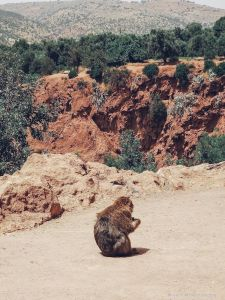 monkey, forest, morocco, ouzoud