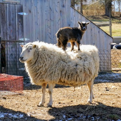 little-goat-and-sheep