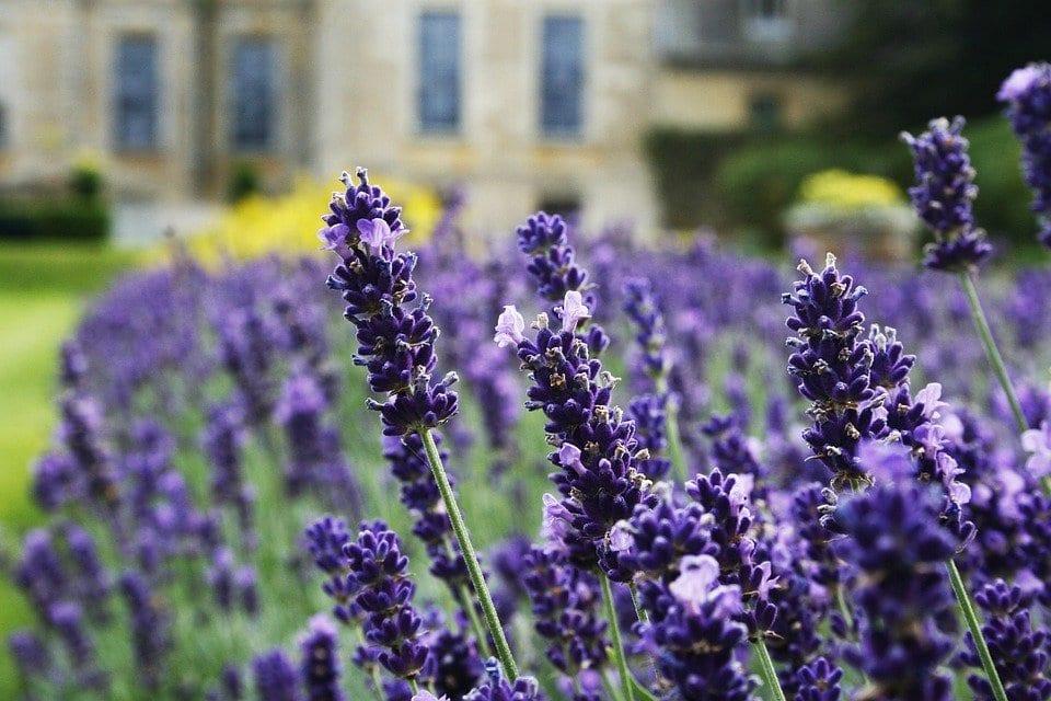 lavender companion plants