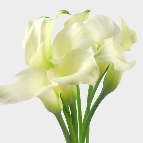 Rustic Fall Desktop Wallpaper Calla Lily Mini White Flower Bulk Wholesale Blooms By