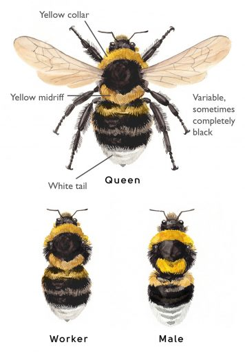 Image result for bumblebee queen