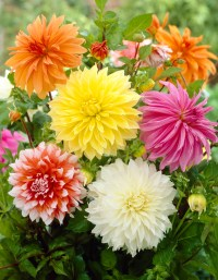 Bloomsz Dinner Plate Dahlia Mix (6 pack)