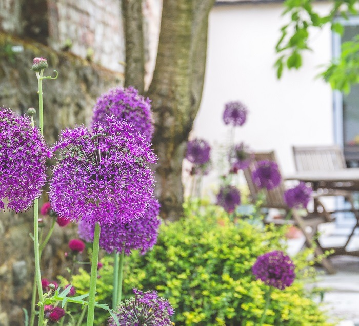 Alliums in landscaped garden