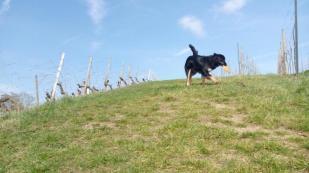 Doxi im Weinberg oberhalb der Mainschleife