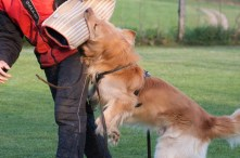 Cato bei der Arbeit auf dem Hundeplatz